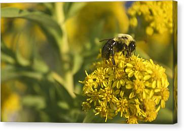Bee Nom Nom Nom Canvas Print by Kevin  Sherf