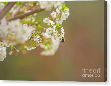 Bee On A Cherry Blossom Canvas Print
