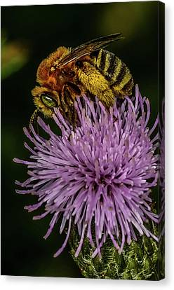 Canvas Print featuring the photograph Bee On A Thistle by Paul Freidlund