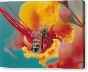 Bee On Bird Of Paradise 100 Canvas Print by Diane Backs-Mancuso