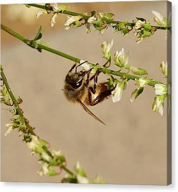 Tea Tree Canvas Print - Bee On Flower Branch 1 by Linda Brody