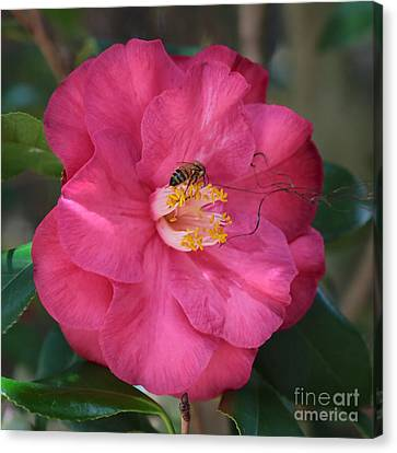 Bee On Pink Camellia Canvas Print