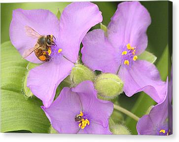 Canvas Print featuring the photograph Bee On Purple Spiderwort by Sheila Brown
