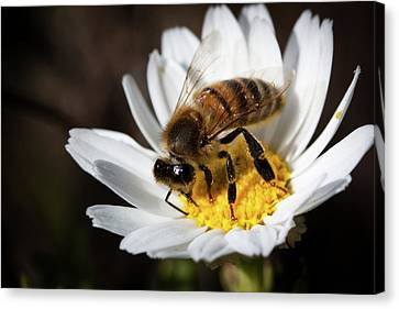 Bee On The Flower Canvas Print by Bruno Spagnolo