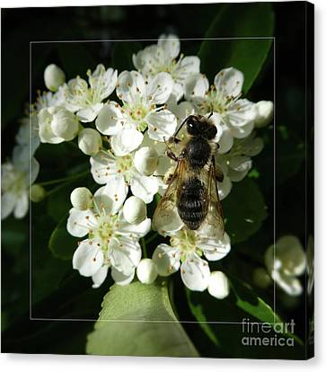 Bee On White Flowers 2 Canvas Print by Jean Bernard Roussilhe