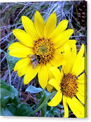 Bee On Wild Sunflowers Canvas Print by Will Borden