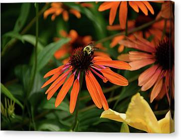 Bee Pollinating On A Cone Flower Canvas Print
