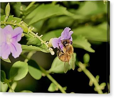 Bee Taking Pollen Canvas Print