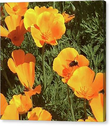 Bee Visits Poppies  Canvas Print by Carolyn Donnell
