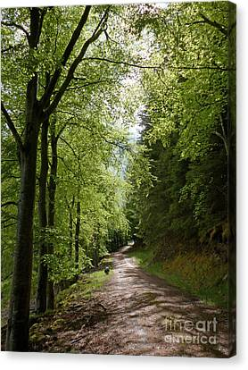 Beech Avenue In Spring Canvas Print by Phil Banks