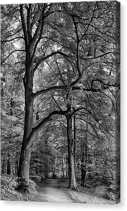 Beech Forest - 365-222 Canvas Print