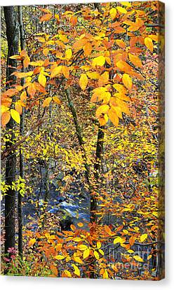 Beech Leaves Birch River Canvas Print by Thomas R Fletcher