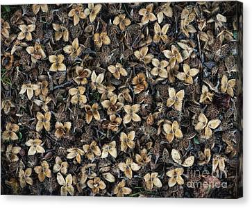 Beech Nut Husks Canvas Print by Tim Gainey