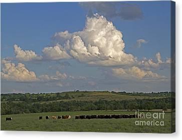 Beef Cattle In Kansas Canvas Print