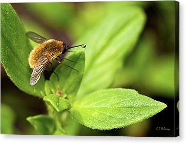 Beefly Canvas Print by Christopher Holmes