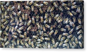 Bees In Hive Madison Wisconsin Canvas Print by Steven Ralser