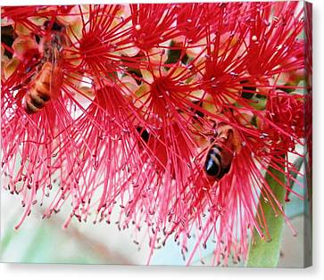 Bees In The Bottle Brush Tree Canvas Print by Belinda Lee