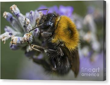 Beeswax Canvas Print - Bees Knees by Ian Mitchell