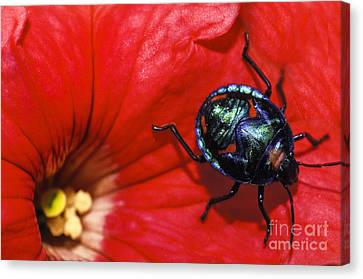 Beetle On A Hibiscus Flower. Canvas Print