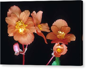 Begonia Buddies Canvas Print by Laurie Paci