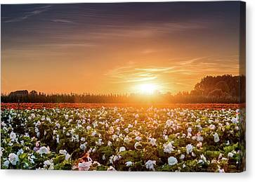 Begonia Farm Canvas Print by Wim Lanclus