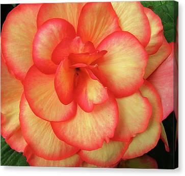 Begonia No. 1 Canvas Print