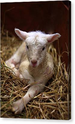 Behold The Lamb Canvas Print by Linda Mishler