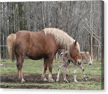 Belgian Foal First Steps Canvas Print by Laurie With