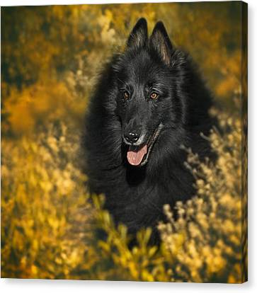 Belgian Sheepdog Portrait 5 Canvas Print by Wolf Shadow  Photography