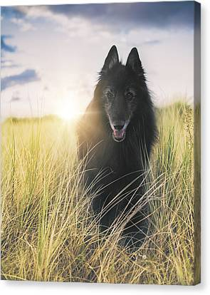 Working Dog Canvas Print - Belgian Shepherd Groenendael In Sea Grass. by Wolf Shadow  Photography