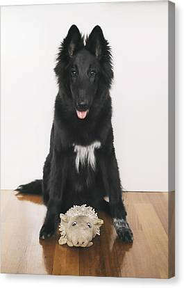 Young Belgian Shepherd Posing With Toy Canvas Print by Wolf Shadow  Photography