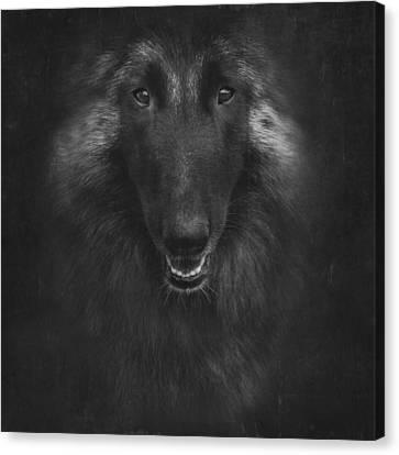 Belgian Tervuren Artwork 2 Canvas Print by Wolf Shadow  Photography