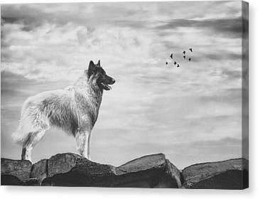 Belgian Tervuren Artwork 4 Canvas Print by Wolf Shadow  Photography