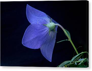 Bell Flower From Behind Canvas Print by Douglas Barnett