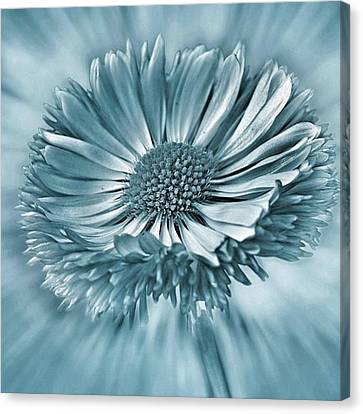 Bellis In Cyan  #flower #flowers Canvas Print by John Edwards