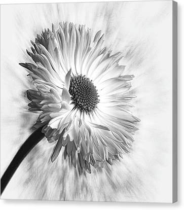 Bellis In Mono  #flower #flowers Canvas Print by John Edwards