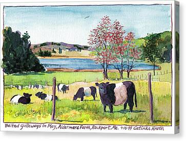 Belted Galloway Art  Maine Cows In May Canvas Print by Catinka Knoth