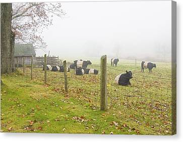 Belted Galloway Cows Farm Rockport Maine Photograph Canvas Print by Keith Webber Jr