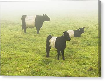 Belted Galloway Cows Grazing  In Foggy Farm Field Maine Canvas Print by Keith Webber Jr