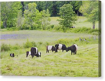 Belted Galloway Cows Rockport Maine Poster Prints Canvas Print by Keith Webber Jr
