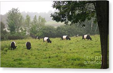 Belted Galloways In Field Canvas Print
