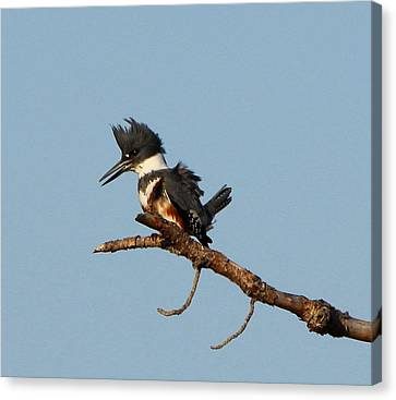 Belted Kingfisher  Canvas Print by Barbara Bowen