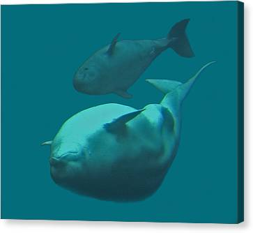 Beluga Whale And Calf Canvas Print by Larry Linton
