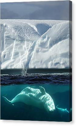 Beluga Whale Canvas Print by Christian Heeb