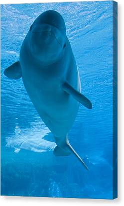Beluga Whale In A Marine Park, Ontario Canvas Print by Darwin Wiggett