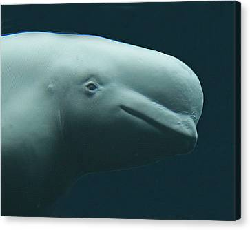 Whale Canvas Print - Beluga Whale by Larry Linton