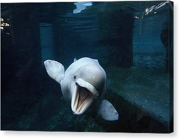 Beluga Whale Swimming With An Open Canvas Print by Paul Sutherland