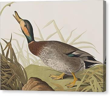 Bemaculated Duck Canvas Print by John James Audubon