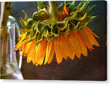 Canvas Print featuring the photograph Bending  Sunflower by John Rivera