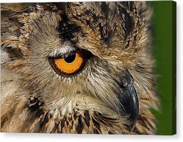 Bengal Eagle Owl Canvas Print by JT Lewis